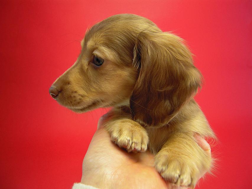ベルサスの子犬 クリーム 男の子