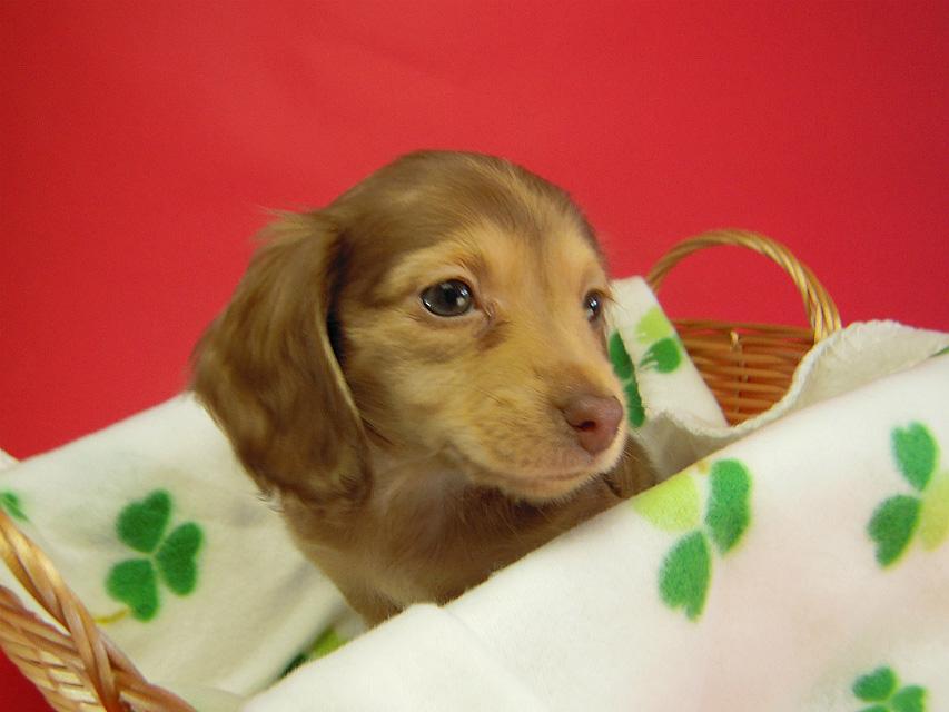 ベルサスの子犬 クリーム 女の子