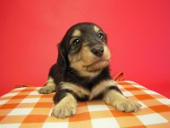 マロの子犬 ブラクリ女の子