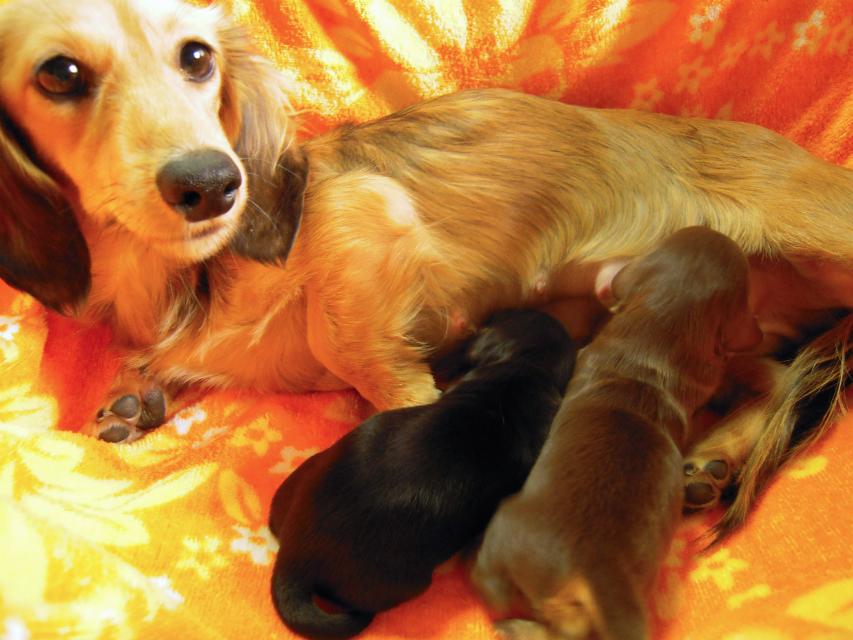 子犬 出産 カニンヘンのティアラが12月14日出産しました