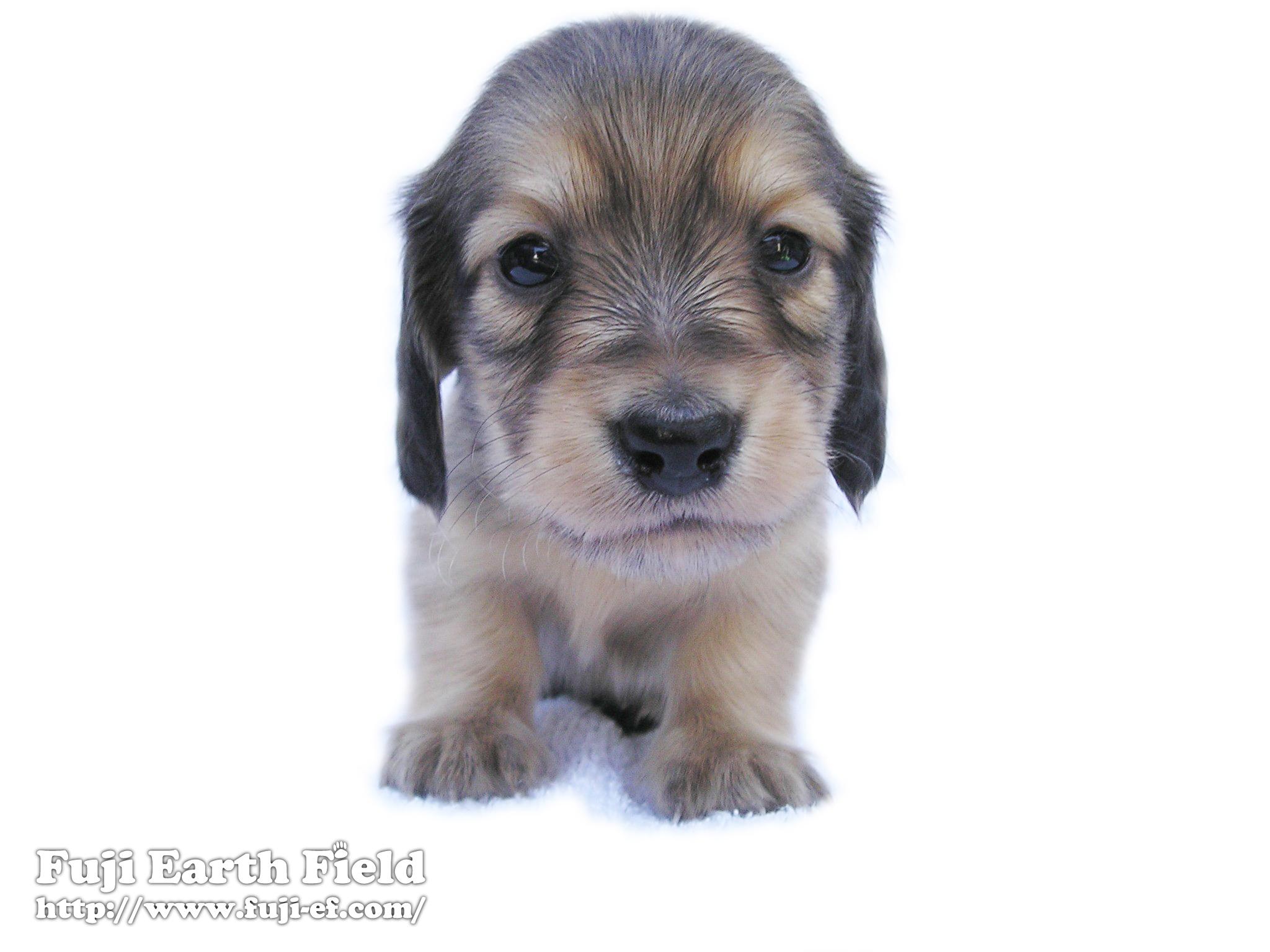 子犬の画像 p1_38