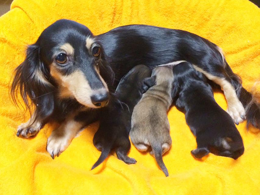 カニンヘンのグリムが9/25出産しました ブラクリ男の子1、Sクリーム男の子1、Sレッド女の子1