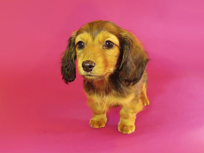 ミニチュアダックス ダックスフンド リールー & ジムダンディの子犬 シェーデットレッド 女の子