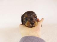 うずめ & オスカルの子犬 シェーデットレッド 女の子 お写真初登場