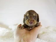 アン.hb & PRINCIPAL HEROの子犬 チョコクリーム 男の子 お写真初登場