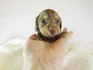 アン.hb & PRINCIPAL HEROの子犬 チョコクリーム 女の子 お写真初登場