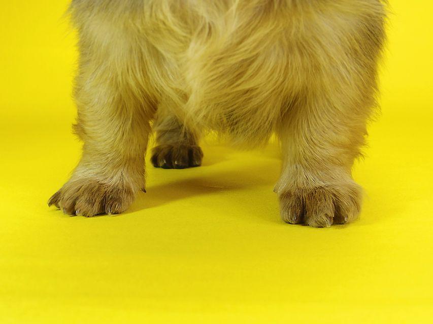 ミニチュアダックス サリーアン & JUST A SUCCESSORの子犬 レッド 女の子①