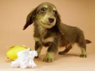アン.hb & PRINCIPAL HEROの子犬 チョコクリーム 男の子