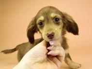 アン.hb & PRINCIPAL HEROの子犬 チョコクリーム 女の子