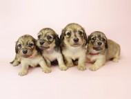 メロディー & ダルク君の子犬 シェーデットクリーム 四姉妹