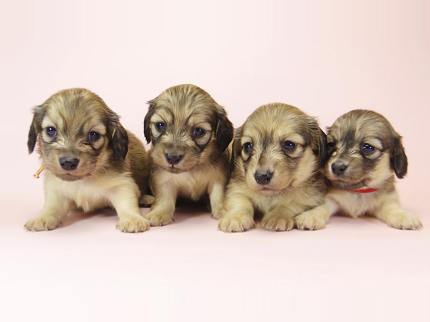ダックスフンド カニンヘン メロディー & ダルク君の子犬 シェーデットクリーム 四姉妹