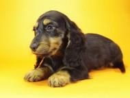 サリーアン & JUST A SUCCESSORの子犬 ブラックタン 男の子