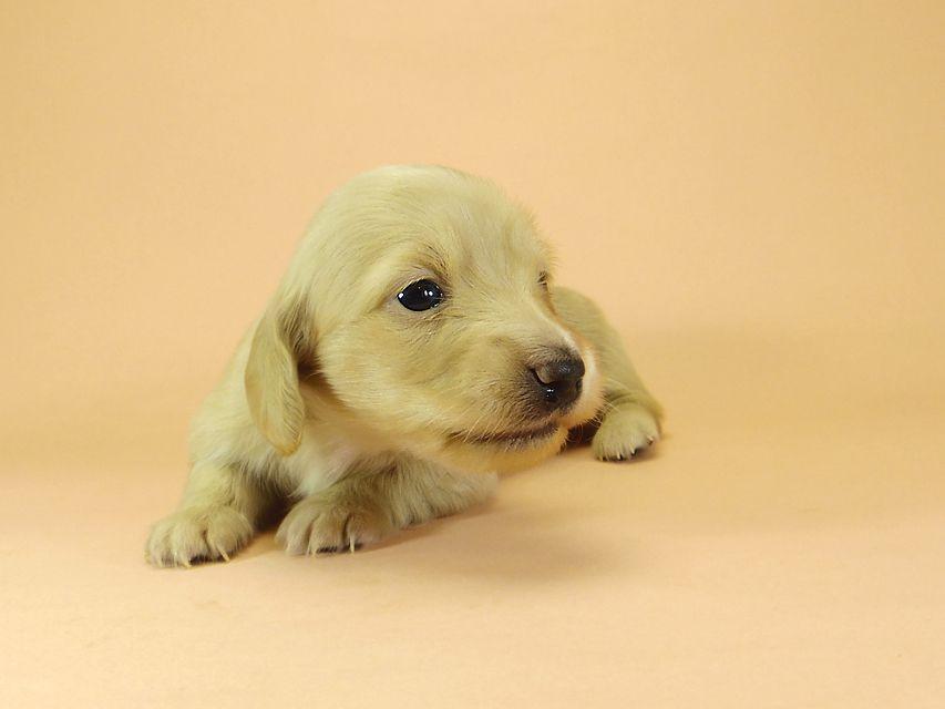 ダックスフンド カニンヘン グリム & 武蔵の子犬 ピュアクリーム 女の子