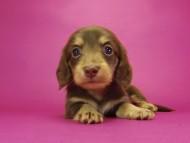 グリム & 武蔵の子犬 チョコクリーム 女の子