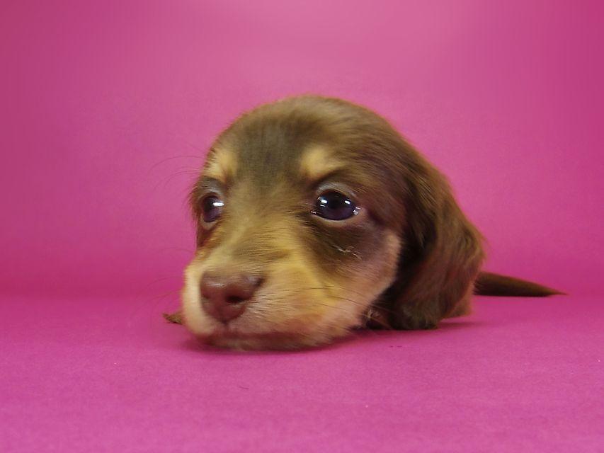 ダックスフンド カニンヘン グリム & 武蔵の子犬 チョコクリーム 女の子