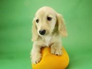グリム & 武蔵の子犬 クリーム 男の子