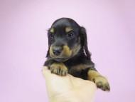 いちご & オスカルの子犬 ブラタン男の子