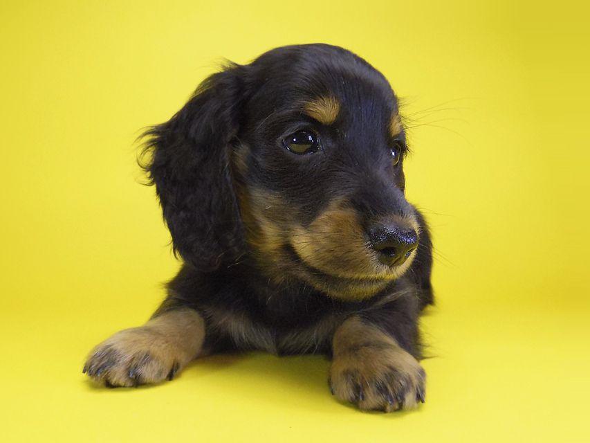 ダックスフンド カニンヘン いちご & オスカルの子犬 ブラタン男の子