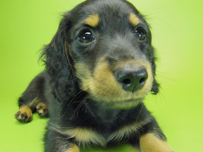 ダックスフンド カニンヘン いちご & オスカルの子犬 ブラックタン男の子
