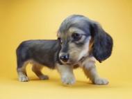 エルサ & ジムダンディの子犬 シェーデットクリーム 女の子