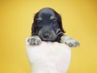 あんず & アサヒの子犬 ブラッククリーム 女の子 お写真初登場