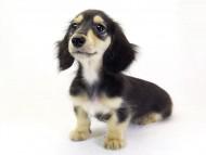 プリマ & ダルクの子犬 ブラッククリーム男の子