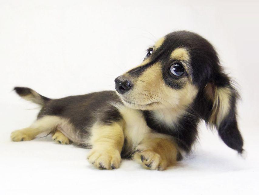 ダックスフンド カニンヘン プリマ & ダルクの子犬 ブラッククリーム 女の子
