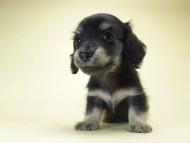 オーシャン & 朝日の子犬 ブラッククリーム 男の子