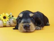 アンジー& 武蔵の子犬 ブラッククリーム 男の子