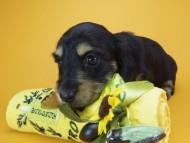 アンジー& 武蔵の子犬 ブラッククリーム 女の子