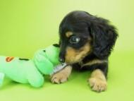 ウズメ & クッキーの子犬 ブラックタン 男の子