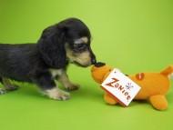ウズメ & クッキーの子犬 ブラッククリーム 男の子