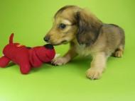 ウズメ & クッキーの子犬 レッド 男の子