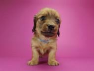 シャーロット.cs & ジムダンディの子犬 シェーデットレッド 男の子