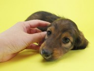 シュガー & PUPUの子犬 シェーデットレッド 男の子