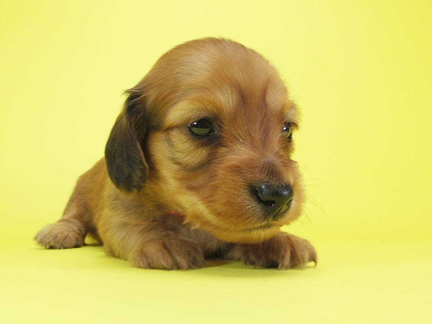 ダックスフンド カニンヘン メロディ & たけるの子犬 レッド 女の子 お写真初登場