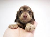ピアス & バロン君の子犬 チョコクリーム 男の子