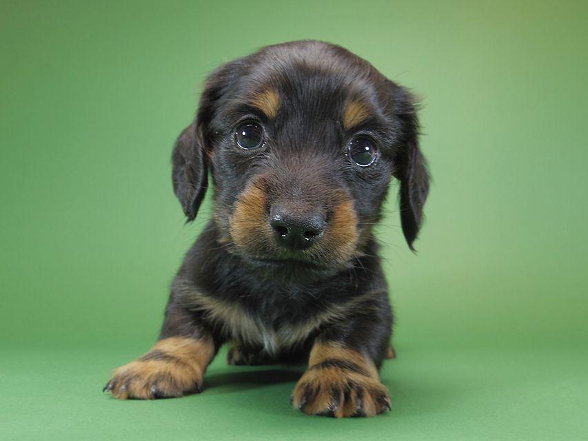 ダックスフンド カニンヘン いちご & オスカルの子犬 ブラックタン 男の子