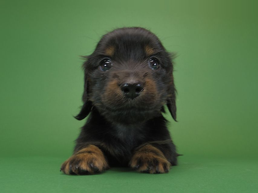 ダックスフンド カニンヘン いちご & オスカルの子犬 ブラックタン 女の子