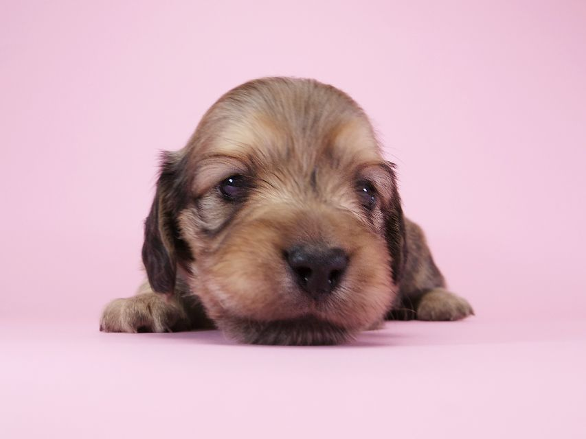 ダックスフンド カニンヘン アン.2 & オスカルの子犬 シェーデットクリーム 男の子(1) お写真初登場