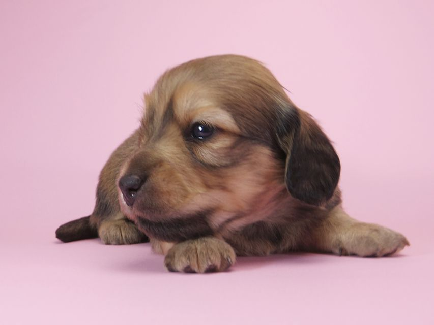 ダックスフンド カニンヘン アン.2 & オスカルの子犬 シェーデットクリーム 男の子(2) お写真初登場