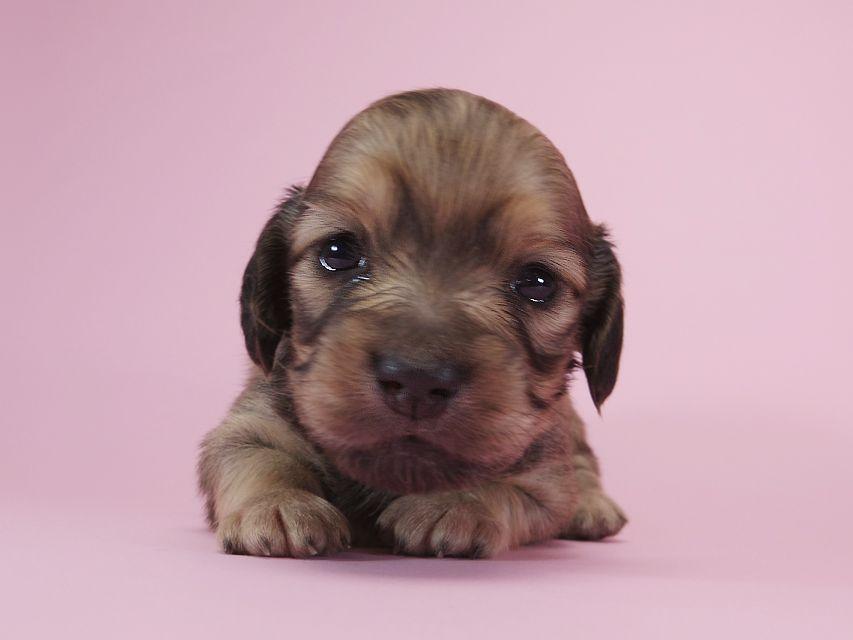 ダックスフンド カニンヘン アン.2 & オスカルの子犬 シェーデットクリーム 女の子 お写真初登場