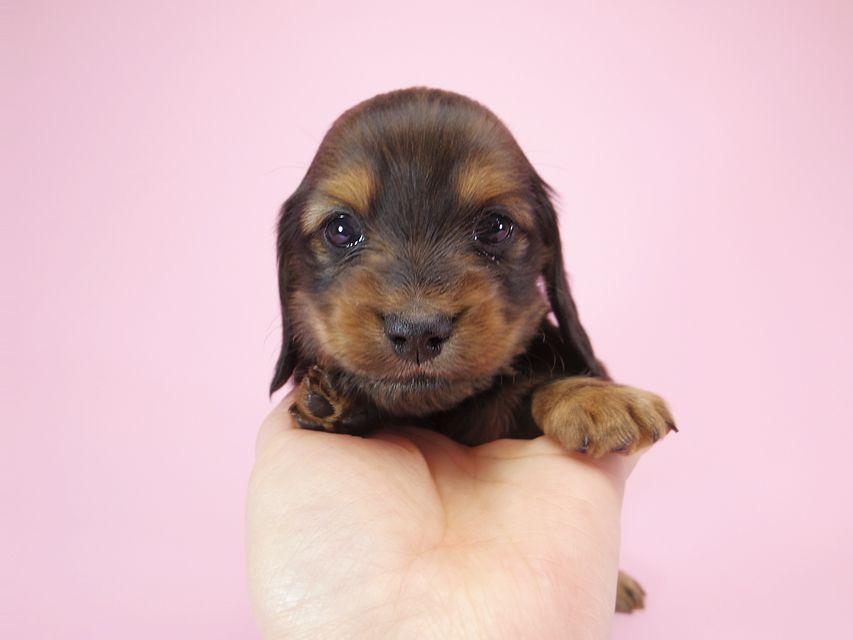 ダックスフンド カニンヘン パン.2 & オスカルの子犬 シェーデットレッド 男の子 お写真初登場