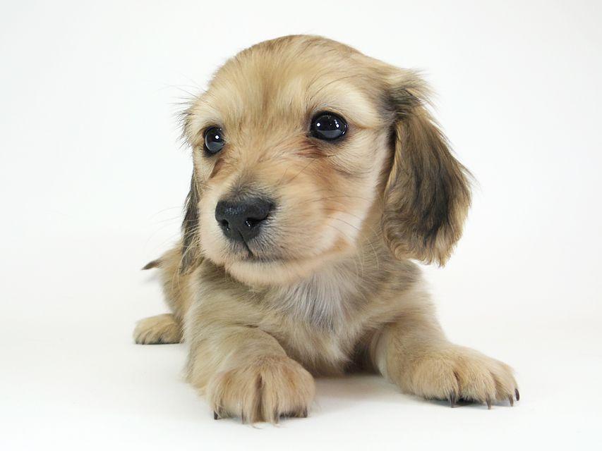 ダックスフンド カニンヘン メロディ & たけるの子犬 シェーデットクリーム 男の子