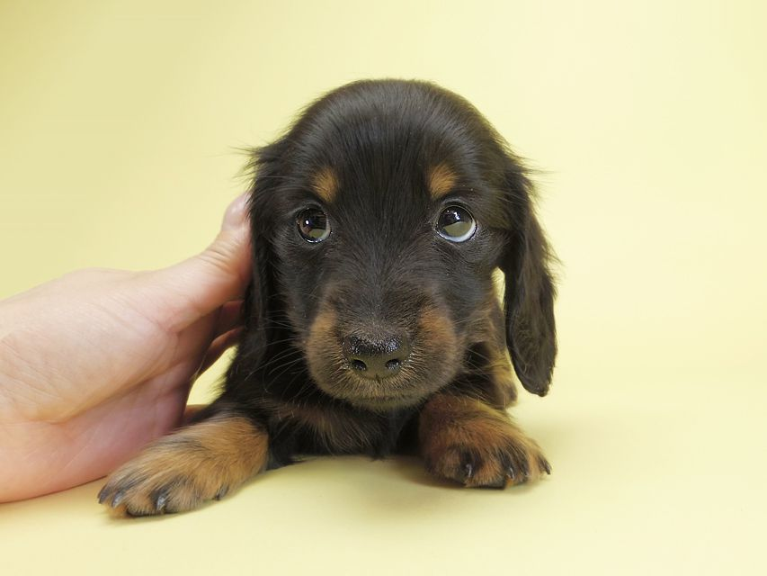 ダックスフンド カニンヘン ダックスフンド カニンヘン いちご & オスカルの子犬 ブラックタン 女の子