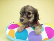 オーシャン & ジャンの子犬 シェーデットクリーム 女の子(2)
