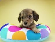 オーシャン & ジャンの子犬 シェーデットクリーム 女の子(3)