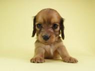 パン.2 & オスカルの子犬 シェーデットレッド 女の子