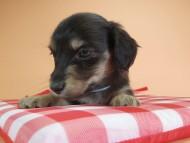 オーシャン & ジャンの子犬 ブラッククリーム 男の子