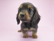 パン.2 & オスカルの子犬 シェーデットレッド 男の子
